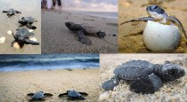 Baby Turtle Hatchlings in Puerto Vallarta