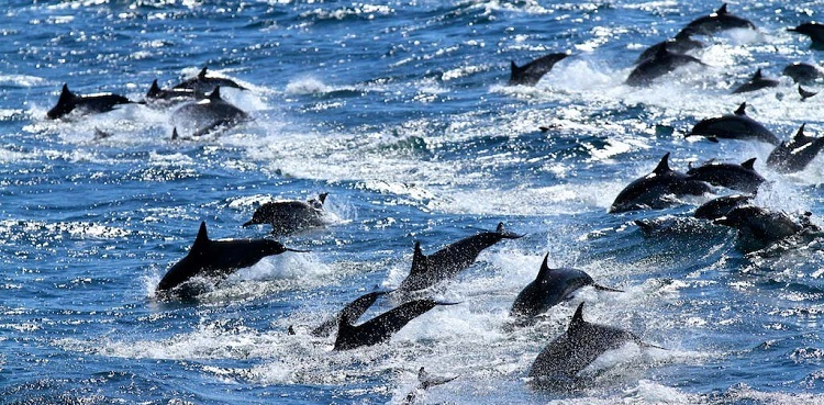 Dolphins at sea of cortez